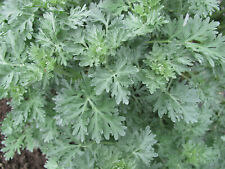 Wormwood, Artemisia Absinthium 1000+ seeds