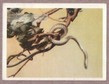 African Poisonous Boomslang Tree Snake 75+ Y/O Ad Trade Card