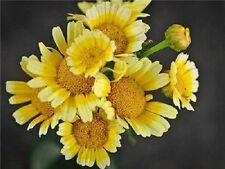 Organic Frilly Edible Chrysanthemum-Shungiku 25+seed Flowers are yellow & edible