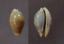 Cypraea beckii, 12.2 mm, F+++/GEM