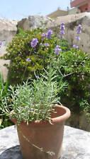 Saatgut Echter Lavendel (Lavandula angustifolia) Samen
