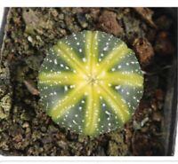 1-cut cactus 4cm yellow Astrophytum asterias Succulent live Plant Home Garden