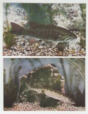 "[67146] OLD JOHN G SHEDD AQUARIUM CHROME POSTCARD ""BLACK BASS""&""PICKEREL"" LOT 2"