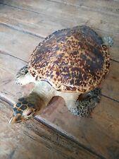 Anciene grande tortue de mer naturalisée