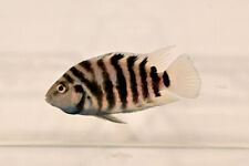 Black Convict Cichlid Live Tropical Aquarium Fish 1 year old Breeding Pair