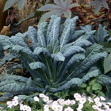 600+LACINATO(Dinosaur) KALE Organic Non-GMO Spring/Fall Garden Nero Di Toscana