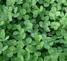☺7000 graines de trèfles blanc et rouge en mélange / engrais vert