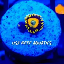 USA REEF AQUATICS - SCRAMBLED EGGS ZOANTHIDS ZOA PALY LIVE CORAL FRAG RARE!