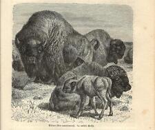 Stampa antica BISONTE AMERICANO Bison bison 1891 Old antique print