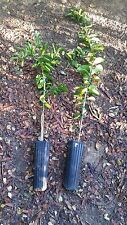 Bearss Lime Tree-seedless fruit- 2 to 3 ft tall-fruiting age-Grafted Citrus-Live