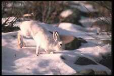123045 Raquetas Conejo en Nevado Sauces A4 Foto Impresión