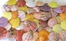 "TWELVE (12) 2-1/2 to 3-1/2""  NOBILIS PECTEN SINGLE SEA SHELLS BEACH  DECOR CRAFT"