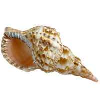 """Large Natural Striped Foxhead Conch Shell 10.5""""L X 5.5""""W"""