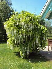 Chinesischer Blauregen in weiß Wisteria sinensis alba 5 Samen