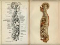 Stampa Antica 1898 = CORPO UMANO Organi Interni = Medicina = CROMOLITOGRAFIA