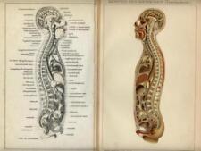 1888= CORPO UMANO  = Medicina = Antica Stampa CROMOLITOGRAFIA