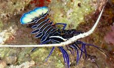 "''AQM"" BLUE SPINY LOBSTER (SM) ,crabs ,snails , Live Coral, ANEMONE, INVERTS"