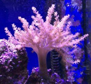 Kenya Tree Coral Soft Capnella Sp Marine Tank Fish Easy to grow.