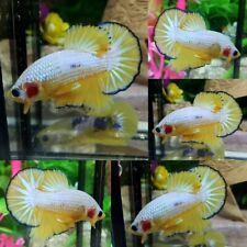 Yellow Fancy Halfmoon Plakat Male - IMPORT LIVE BETTA FISH FROM THAILAND