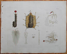 Jablonsky Original Colored Print Insect Beetle Anatomy  (C) - 1785