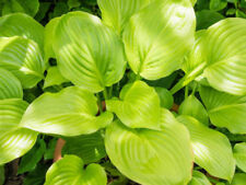 Hosta Perennial Flowers & Plants
