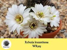 Cactus Seeds - Rebutia leucanthema WR305