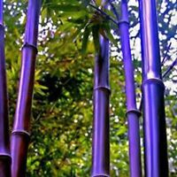 100Pcs Viable Seeds RARE Purple Bamboo Timor Bambusa Lako Plant Easy to Grow