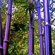 100Pcs Viable Seeds RARE Purple Bamboo Timor Bambusa Lako Plant Easy to Grow