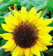 1 Pack 20 Seeds Low Sunflower Helianthus Seed Flower Seed For Good Luck ☆