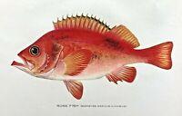 1904-1906 RARE Antique DENTON FISH Print ROSE FISH Sebastes marinus (Linnaeus)