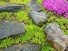 Sedum Cuttings Sarmentosum Fast Spreading Perennial Hardy Ground Cover
