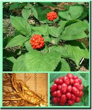 20 Ginseng Herb Seeds Panax Ginseng Organic Home Garden Potten Healthy Plants