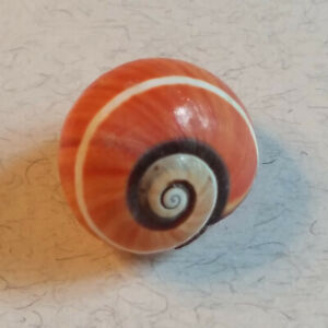Polymita picta from old collection, 22mm, very red, with single white spiral