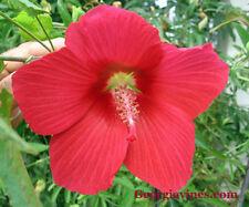 Hibiscus moscheutos Lord Baltimore 8 seeds