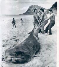 1963 Press Photo Fishermen Lug 1570 lb 13 ft Tiger Shark on Beach Oahu