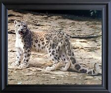 Leopard in Snow Wildlife Animal Wall Decor Black Framed Picture Art Print 19x23