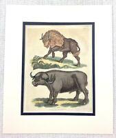 1827 Antico Incisione Bison Acqua Buffalo Naturale Storia Mano Colorato Buffon