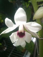 Orchid Plants Calanthe Grouville x vestita