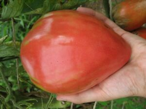 TOMATO OXHEART RED 30 Seeds HEIRLOOM