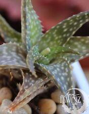 "2"" Aloe descoingsii Pink RED FLOWER SUCCULENT Cactus Plant Cacti"