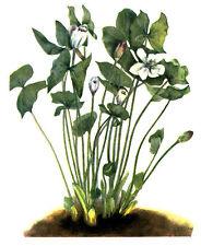 72 ~ TWINLEAF RHEUMATISM ROOT ~ Old 1925 Mary Walcott Flower Botanical Art Print