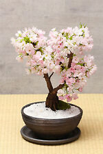 20 graines de bonsaï Sakura Tree home croître fleurs