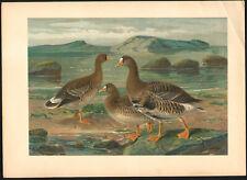 1896 Grande lithographie Oie rieuse toundra oiseaux oies Ornithologie