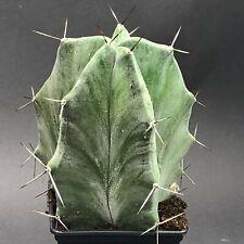1239. Lemaireocereus pruinosus / CAUDEX testudinaria LITHOPS