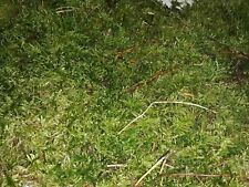 Live Bio Active moss sheet x 2 for terrarium, viv, mini garden or fairygarden.