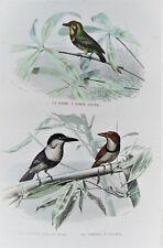1d-54 Gravure 19e oiseaux barbu, tamatia noir et blanc, à collier Buffon 1853