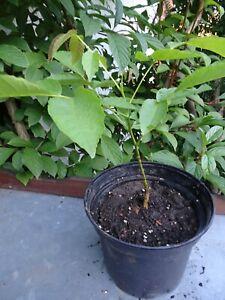 Wallnussbaum - Walnuss winterhart Bio Pflanze - Bäumchen