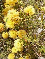 Melaleuca pungens in 50mm forestry tube native plant