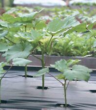 20 Seeds Abelmoschus Okra Vegetable Bonsai Plant House Herb Garden Flower Decor