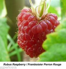 Raspberry Framboise JUICY Perron Rouge 20 SEED SUPER Fruit Rubus ROBUS QTY LIMIT